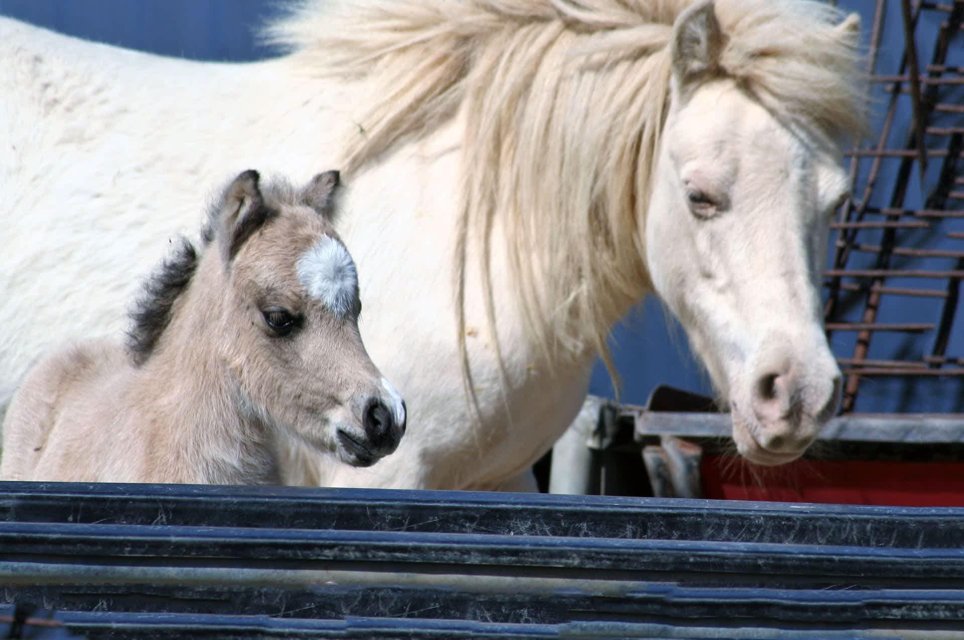 Home ⋆ Little America Miniature Horses