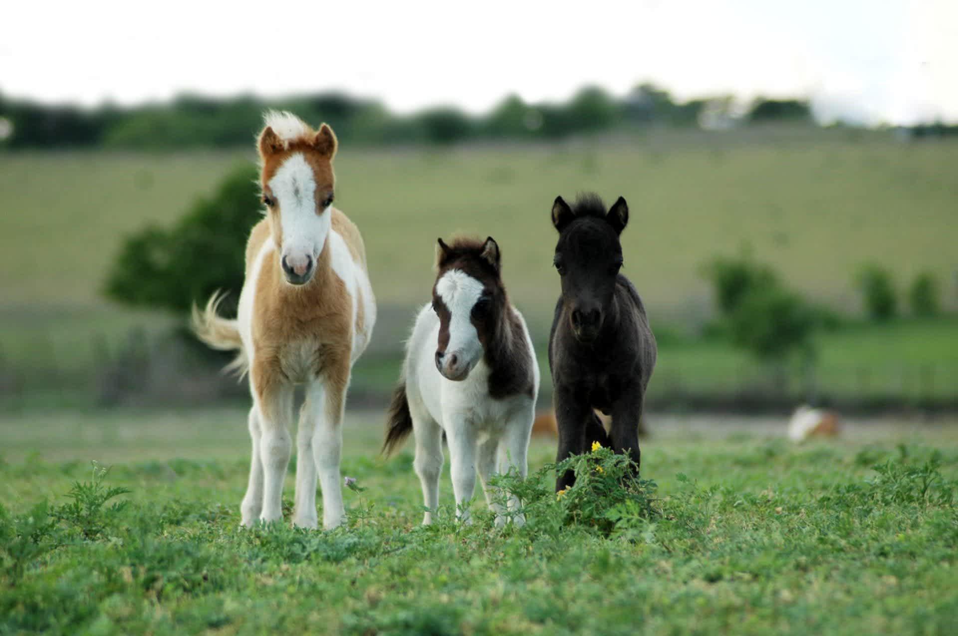 Home Little America Miniature Horses